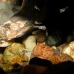 Чернополосая цихлазома (Cichlasoma nigrofasciatum), мальки