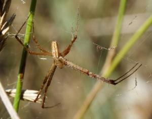 Самец паука аргиопы (фото взято из википедии)