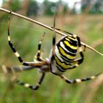 Аргиопа (Argiope bruenichi), паук-зебра
