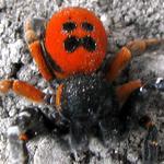 Eresus cinnaberinus - Паук-божья коровка