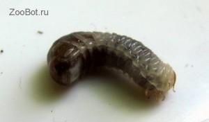 Личинка неизвестного жука