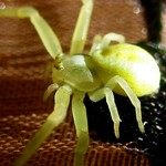 Цветочный желтый паук
