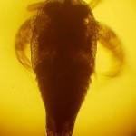 Личинка триопса