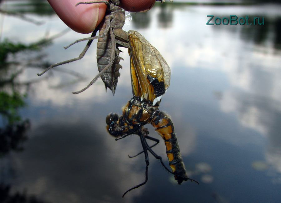Личинки стрекозы: массовый выход (фото, видео)